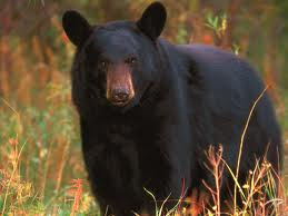 bears in Indiana
