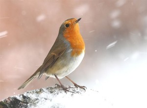 An English robin looking very cold
